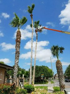CC Tree Service Areas trimming palm tree